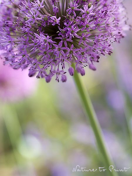 Blumenbild: Allium in Pastell