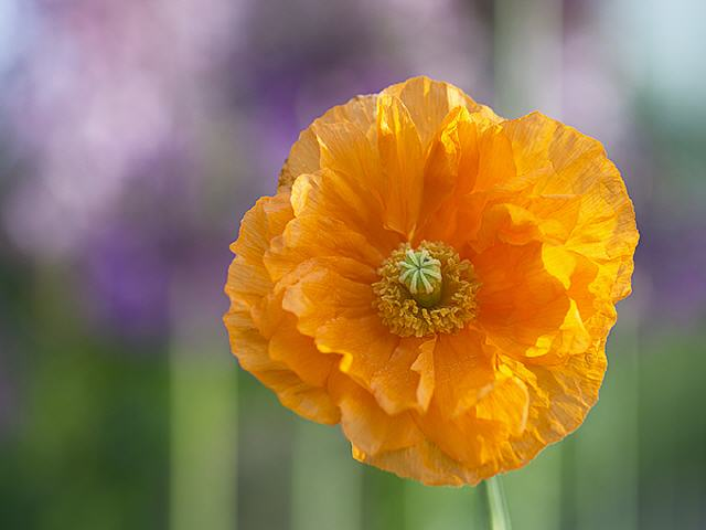 Blumenbild Orange Poppy