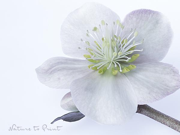 Blumenbild Eisprinzessin, weiße Christrose, freigestellt