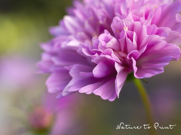 Blumenbild Cosmos im Rüschenkleid