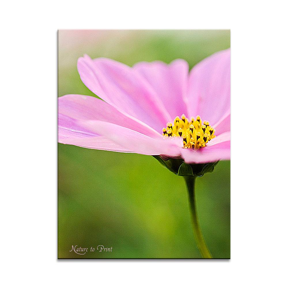 blumenbild rosa petticoat cosmea als leinwandbild. Black Bedroom Furniture Sets. Home Design Ideas