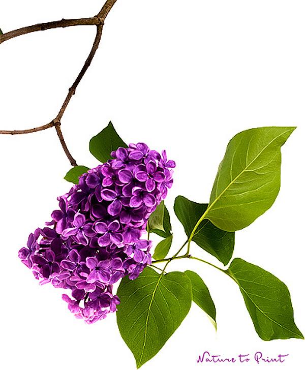 Ein Traum von lila Flieder. Kunstdruck, Leinwandbild oder Fototapete im Wunschformat