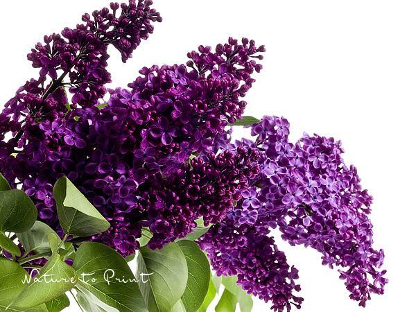 blumenbild kunstdruck und leinwandbild lila flieder auf wei. Black Bedroom Furniture Sets. Home Design Ideas