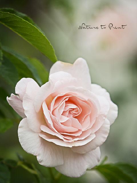 kunstdrucke und leinwandbilder mit rosa rosen. Black Bedroom Furniture Sets. Home Design Ideas