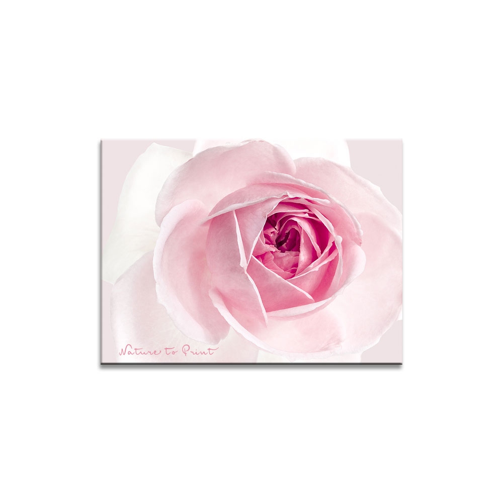 Rosenbild: Rosa Rose mit großem Namen Katharina Bora