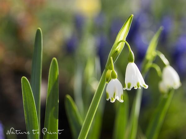 Fototapete Frühling mit Knotenblume