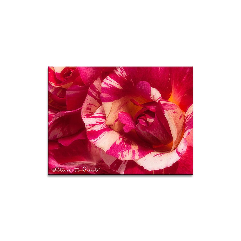 Rosenbild Geflammte Rose Wildes Durcheinander | Malerrose