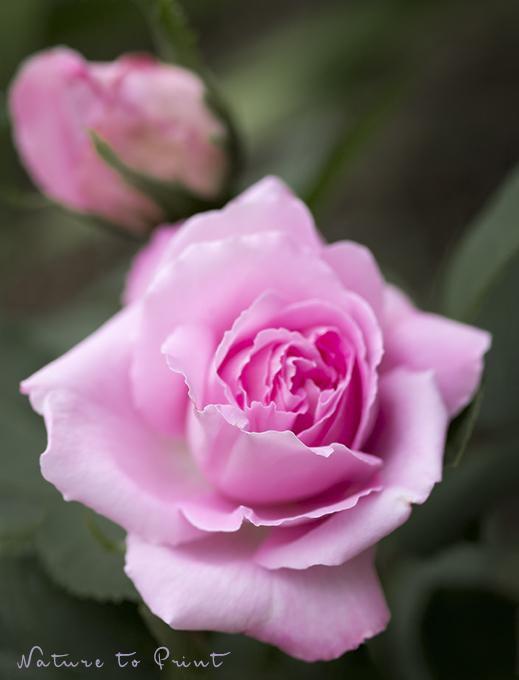 Blumenbild Alte Rose Mrs. John Laing