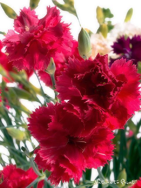 blumenbild kunstdruck und leinwandbild rot wei lila pinke nelken. Black Bedroom Furniture Sets. Home Design Ideas