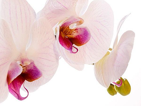 blumenbild auf leinwand oder kunstdruck zartrosa orchideen. Black Bedroom Furniture Sets. Home Design Ideas
