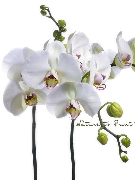 orchideenbild wei e phalaenopsis freigestellt auf weiss. Black Bedroom Furniture Sets. Home Design Ideas