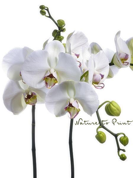 kunstdrucke und leinwandbilder mit phalaenopsis orchideen. Black Bedroom Furniture Sets. Home Design Ideas