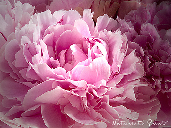 Blumenbild Kunstdruck Und Leinwandbild Rosa Pfingstrosen