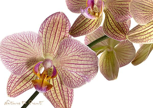 Orchideenbild: Grazile Schmetterlings-Orchidee