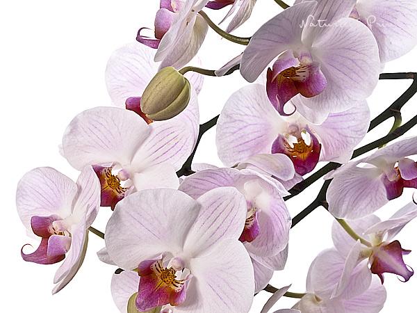 60x90cm Naturfotografie Poster Rosa Orchideen mit rosa Schmetterlingen