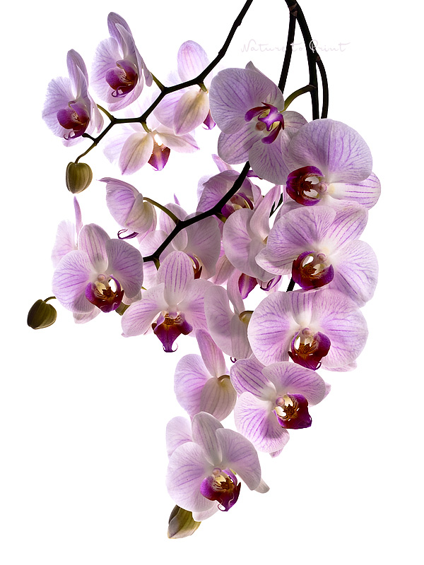 Kunstdruck mit Orchidee