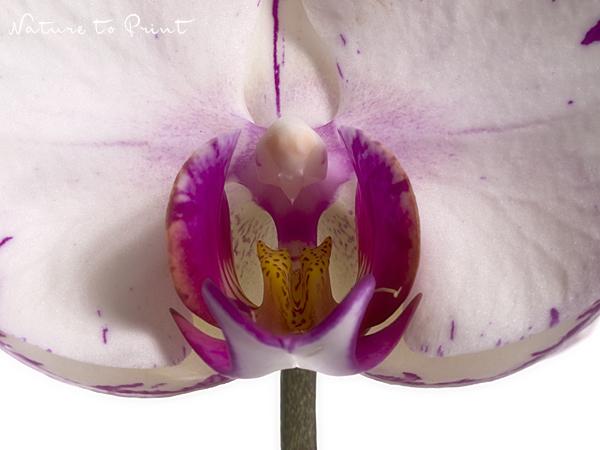 blumenbild auf leinwand oder kunstdruck weiss pinke orchidee