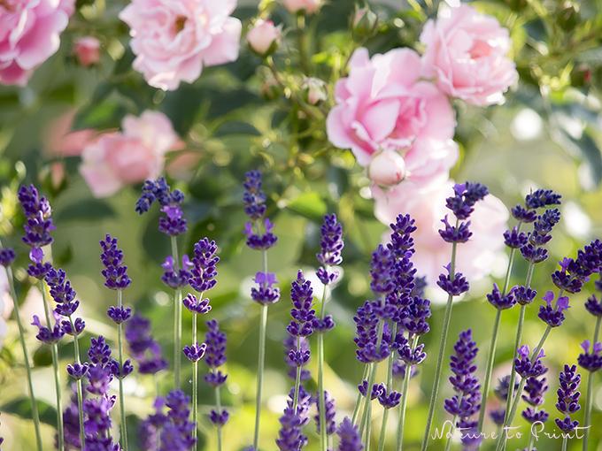Rose Sommerwind | Fototapete oder Leinwandbild: Leichte Sommerbrise mit Lavendelduft