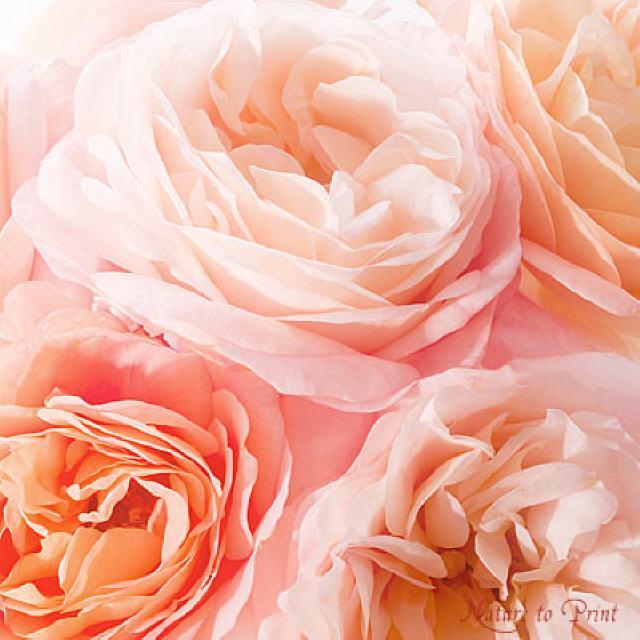 rosenbilder