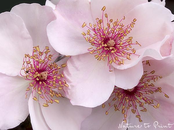 Rosenbild Sweet Pretty: Süß und offenherzig