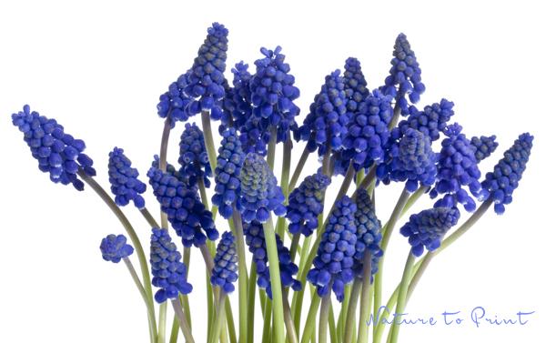 blumenbild auf leinwand oder kunstdruck blaues blütenband