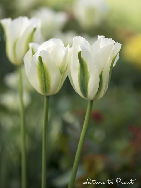 Tulpenbild Schattenspieler mit Viridifloratulpe Spring Green