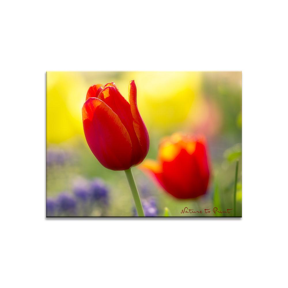 Leinwandbild Rote Tulpen, von der Sonne geküsst