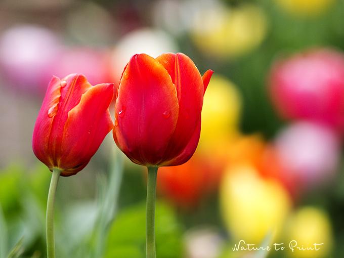 Bildergebnis für frühlingsbild tulpen