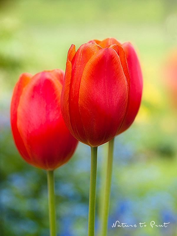 blumenbildkunstdruck und leinwandbild roten tulpen im garten