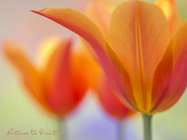 Tulpenbild Orange Beauty