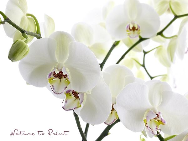 Orchideenbild Big white Orchid III