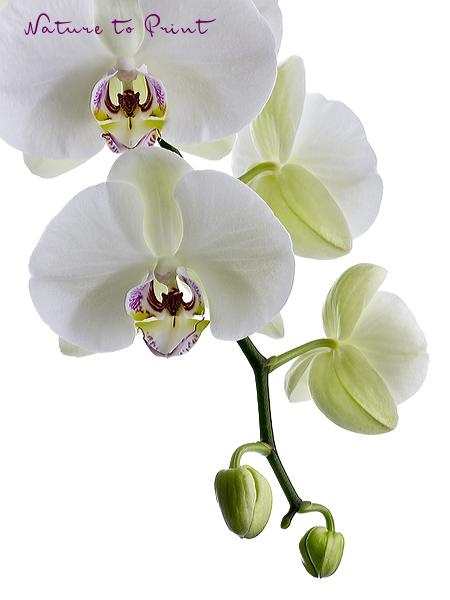 orchideenbild weisse phalaenopsis freigestellt auf weiss. Black Bedroom Furniture Sets. Home Design Ideas