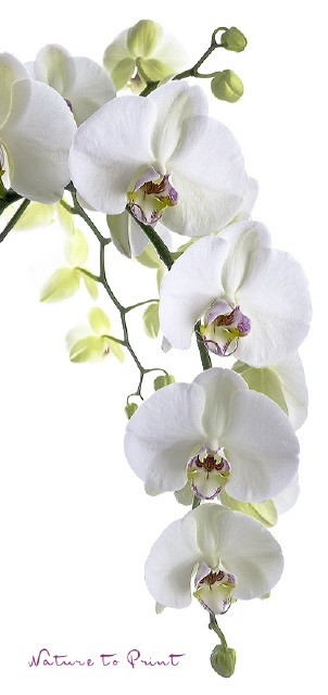 Orchideen-Banner Big White Orchid