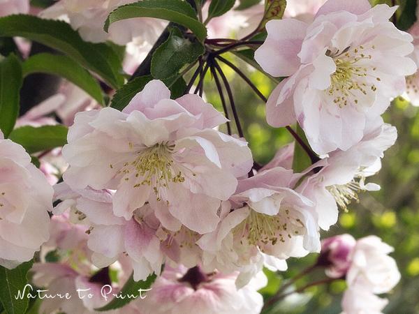 Blumenbild Zierapfelblüte, ein rosa Blütentraum