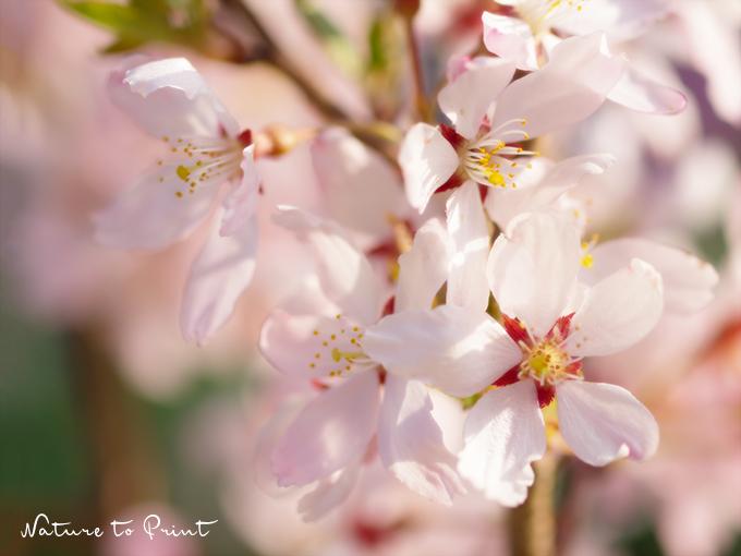 Rosa Zierkirschblüte. Hanami im eigenen Garten.