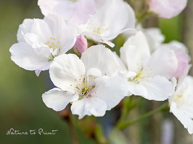 Blumenbilder, gerahmte Kunstdrucke und Leinwandbilder mit weißen Blüten